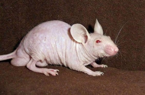 https://i2.wp.com/www.new.thiswaycome.com/wp-content/uploads/2015/08/14400951366367-hairless-bald-animals-12.jpg?resize=605%2C401