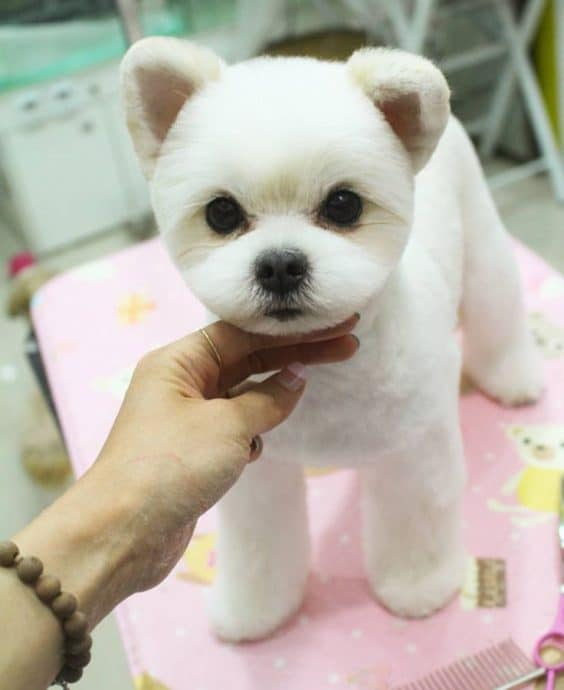 Teddy Bear Hair Cut for Dogs A lot of pet owners love this hairstyle for their dogs. This dog hairstyle makes the dog look cute and adoring. The teddy bear cut lies in between the retriever and the puppy cut. The hair of the dog is left even everywhere except for the face and tail where it is cut short. The length of the hair can be adjusted according to your liking. This haircut is easy to maintain as the dog's coat is free of tangles and mats.